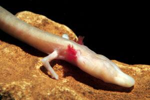 Пещерная саламандра просидела на одном месте 7 лет