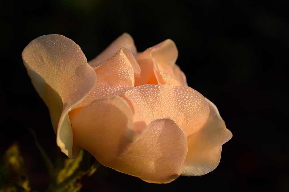 В моду вошли янтарь, персик и пыльная роза