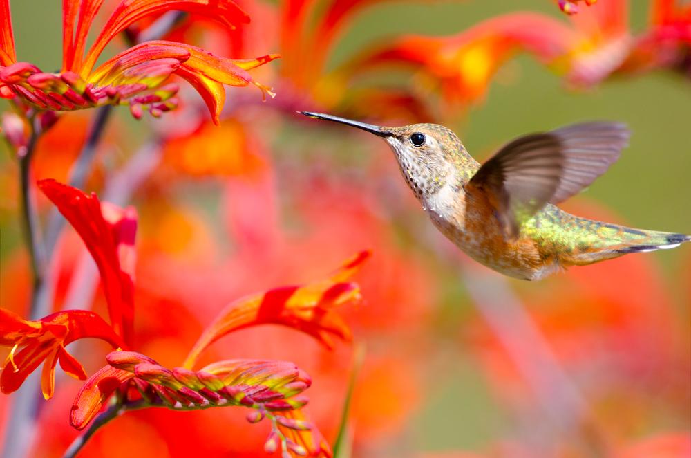 Городские сады Мехико борются с вымиранием колибри