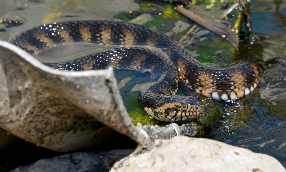 Во Флориде змеи собрались на гигантскую оргию.Вокруг Света. Украина