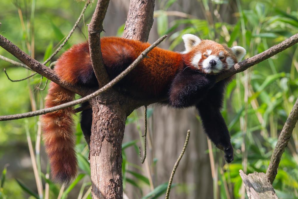 Красная панда – это не один вид, а два.Вокруг Света. Украина