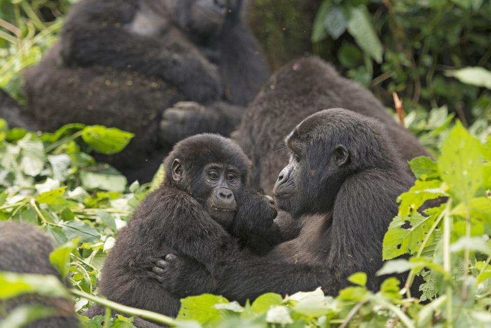 В Уганде от удара молнии погибли четыре редкие горные гориллы