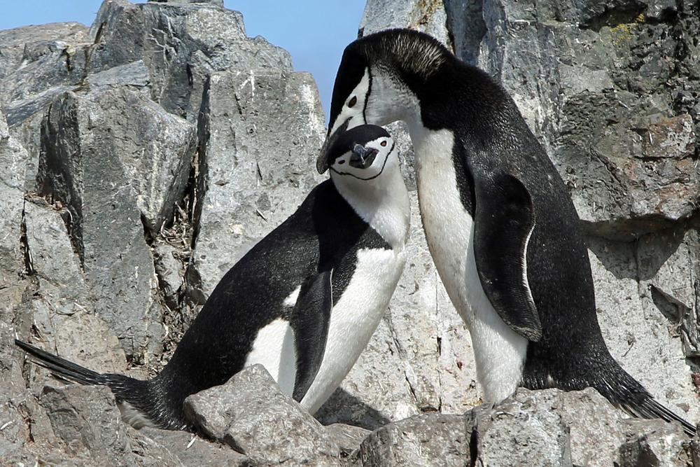 Популяция пингвинов Антарктиды катастрофически сократилась.Вокруг Света. Украина