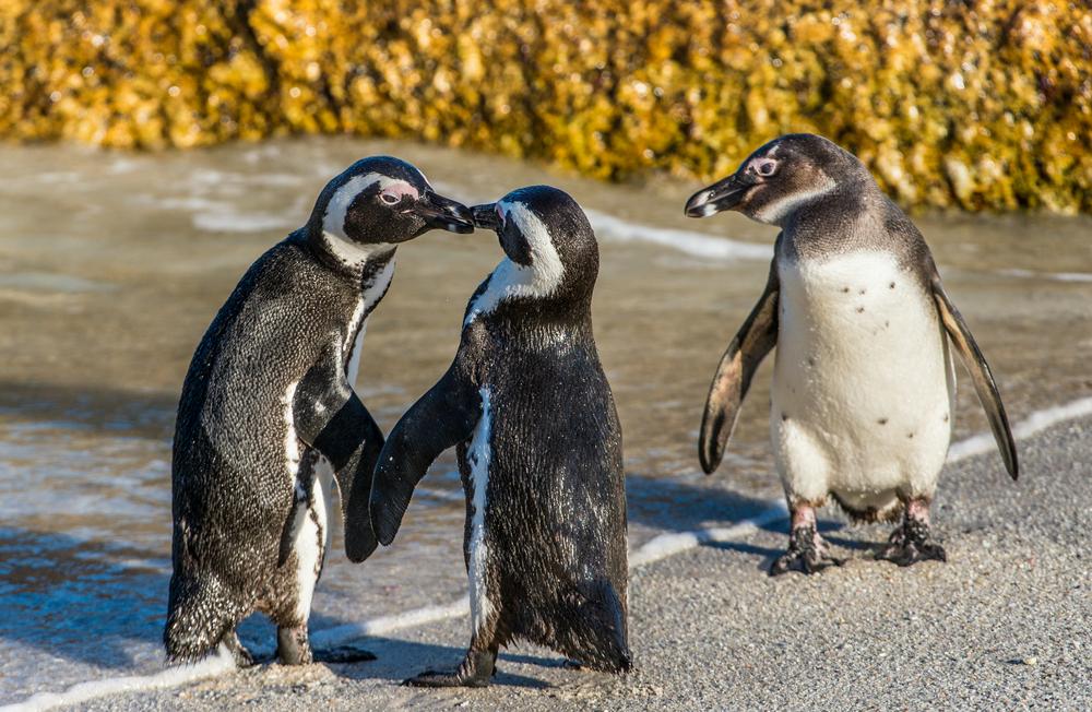 Речевые паттерны пингвинов похожи на человеческие – исследование.Вокруг Света. Украина