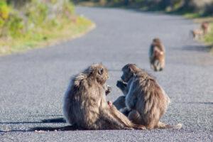 В Сиднее бабуин с двумя подружками сбежал от стерилизации