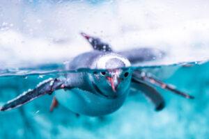 Ученые обнаружили, что пингвины издают звуки под водой