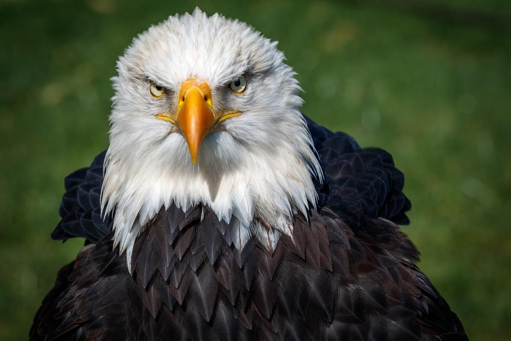 В США белоголовые орланы гибнут от отравления свинцом