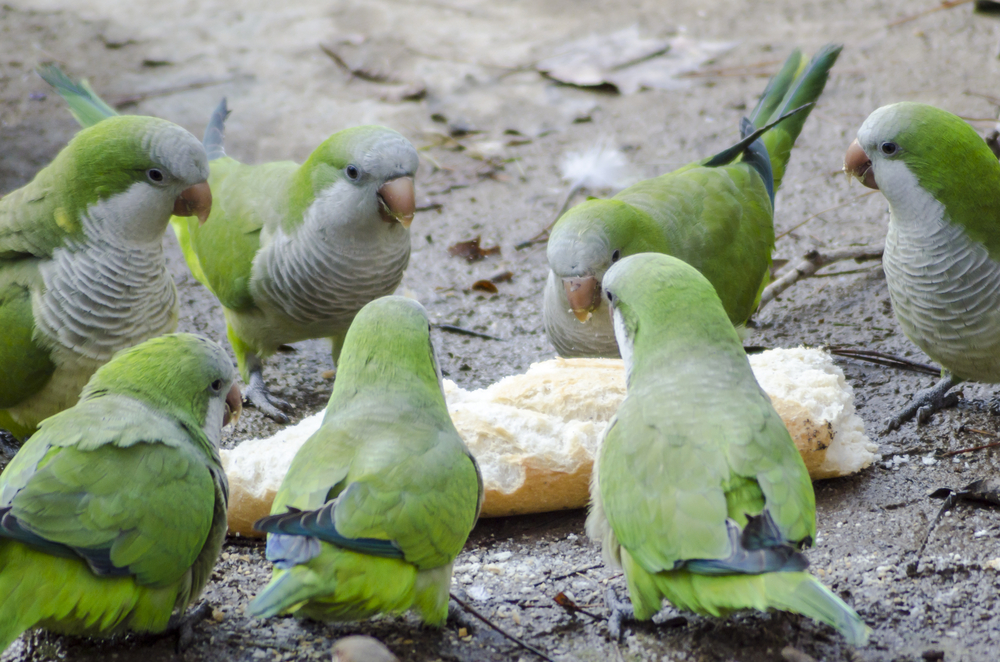 Мадрид объявил войну зеленым попугаям-монахам