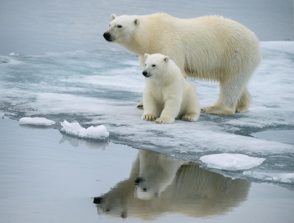 Белые медведи Арктики тощают и реже размножаются