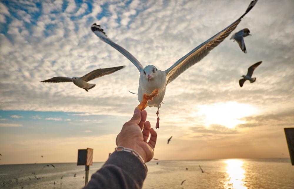 Чайки предпочитают еду, которую держали в руках люди - ученые