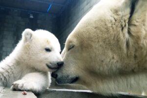 Белая медведица учит медвежонка плавать