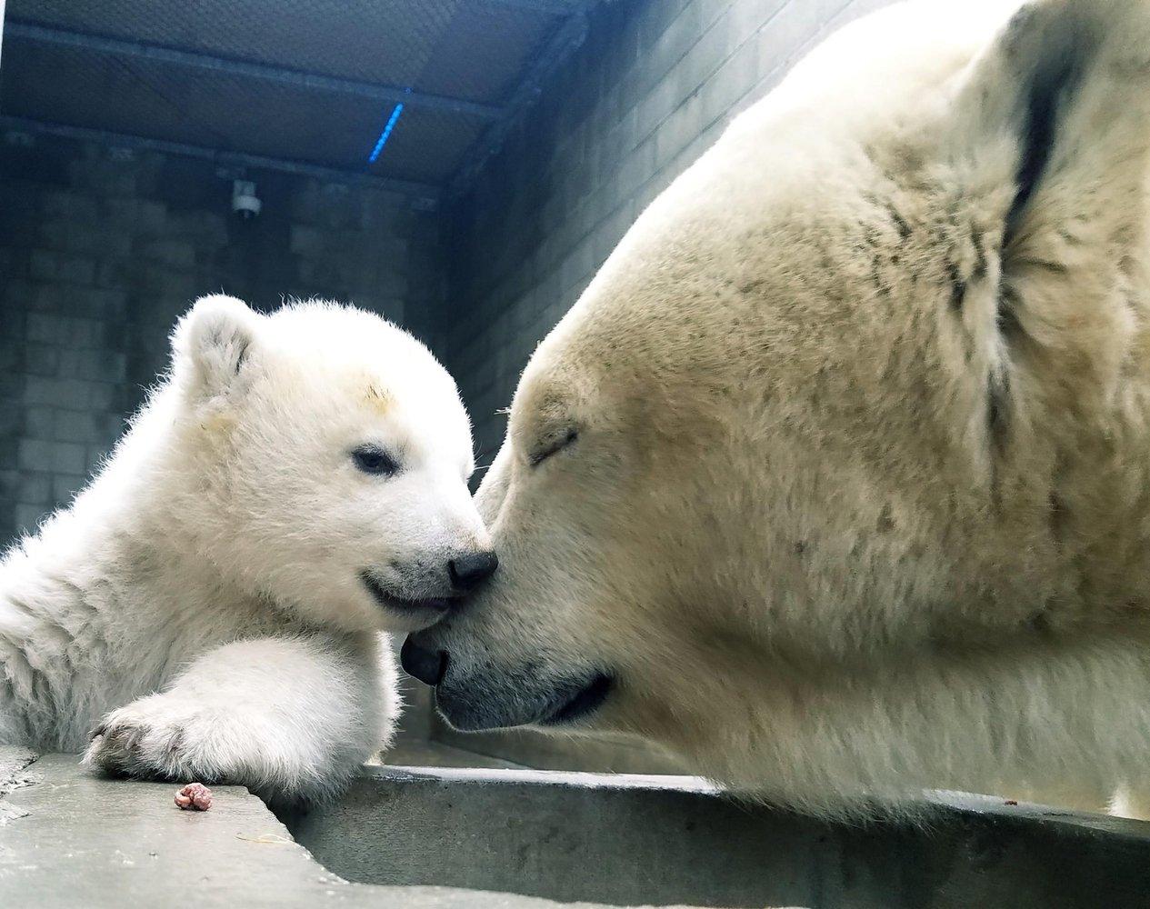 Белая медведица учит медвежонка плавать.Вокруг Света. Украина