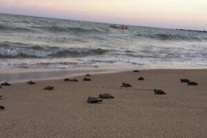 На пустынном пляже в Бразилии вылупились редкие черепашки