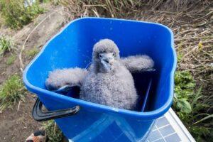 Таксистка из Новой Зеландии собрала команду волонтеров, чтобы по ночам спасать птиц