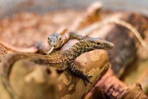 В США самка дракона Комодо обзавелась потомством без участия партнера