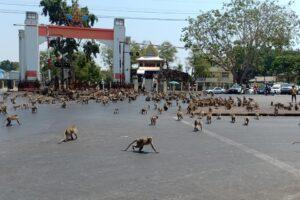 Кормить некому: сотни голодных обезьян бродят по улицам Таиланда(видео)