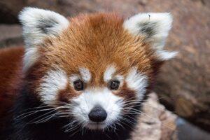 В американском зоопарке внезапно умер самец красной панды