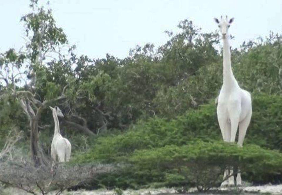 В мире остался только один белый жираф.Вокруг Света. Украина
