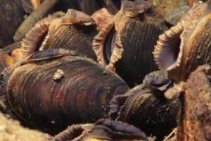 В Шотландии нашли колонию редких жемчужных мидий