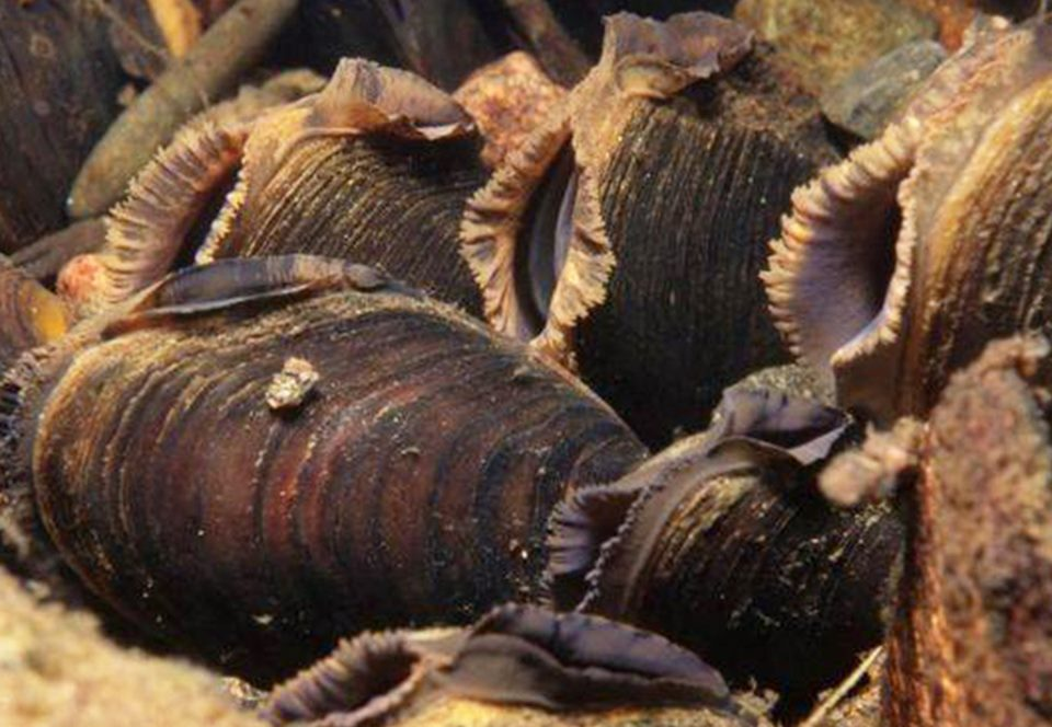 В Шотландии нашли колонию редких жемчужных мидий.Вокруг Света. Украина