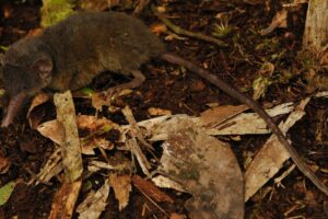 В Индонезии обнаружили землеройку с волосатым хвостом