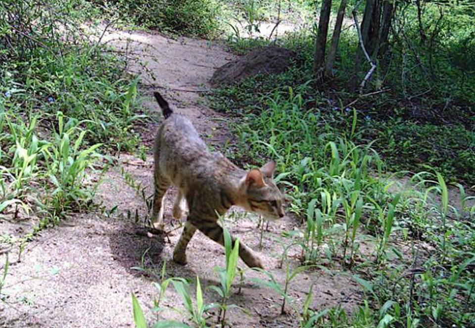 Откуда взялись кошки в лесах Мадагаскара? – исследование.Вокруг Света. Украина