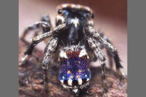 Арахнолог из Австралии открыл новых пауков-павлинов
