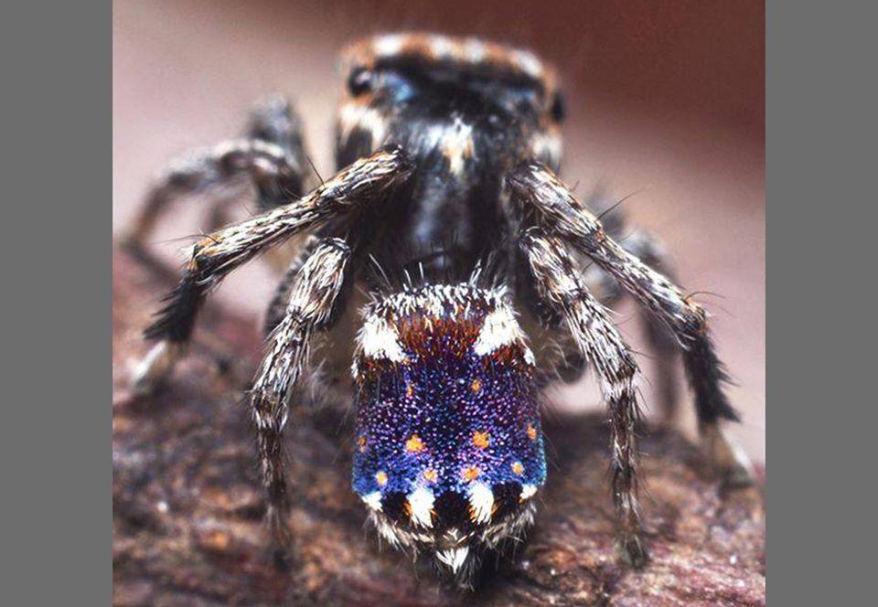 Арахнолог из Австралии открыл новых пауков-павлинов.Вокруг Света. Украина