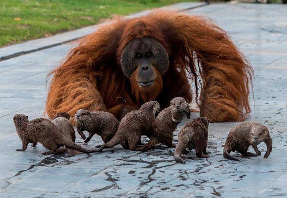 Выдры – лучшие друзья орангутанов: фото
