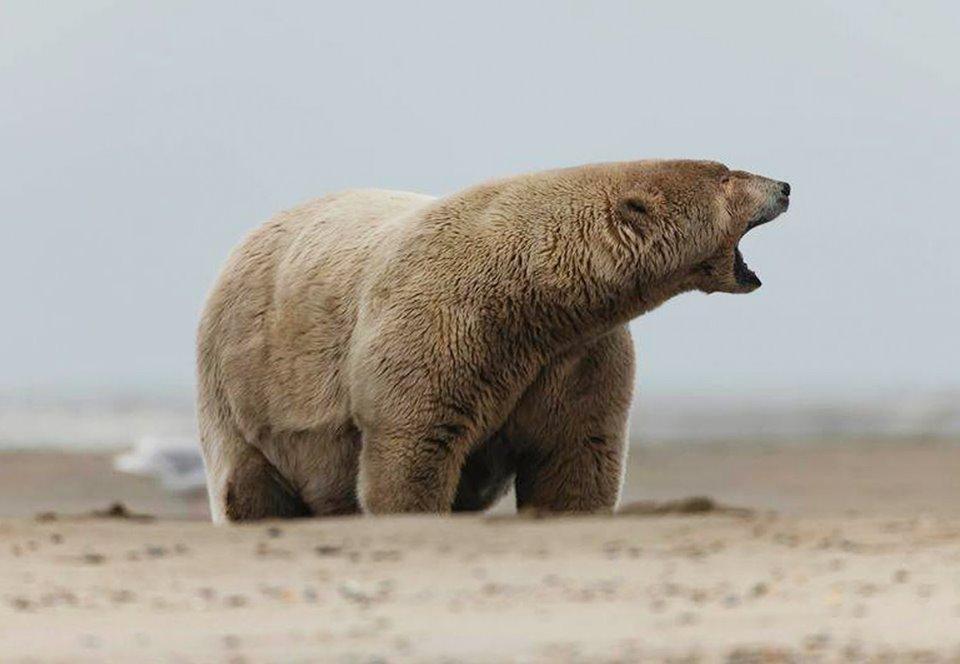 На Аляске белому медведю дали прозвище «Толстяк Альберт»