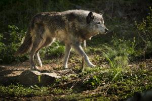 Избежали исчезновения: в Америке восстанавливается популяция мексиканских волков