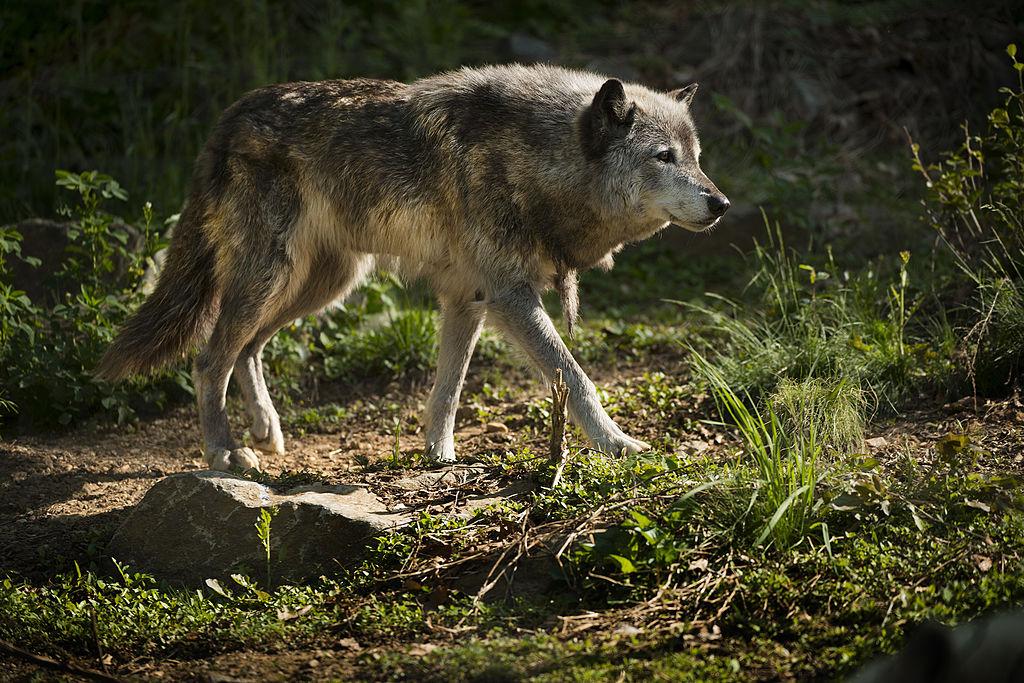 Избежали исчезновения: в Америке восстанавливается популяция мексиканских волков.Вокруг Света. Украина