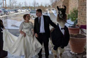 Американец пришел на свадьбу сестры с ламой