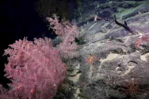 У побережья Австралии обнаружили глубоководные «коралловые сады»