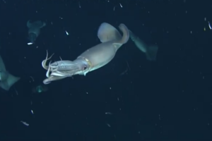 Как кальмары разговаривают друг с другом в темноте