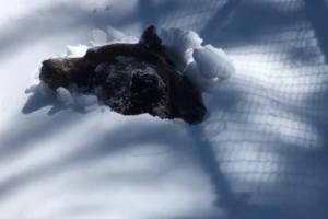 Медведь гризли выходит из спячки (видео)