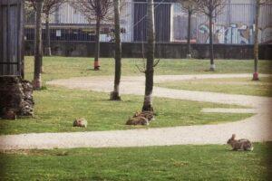 Пустые парки Милана заполонили зайцы