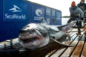 Все белые акулы мигрируют в одном направлении - кроме этой