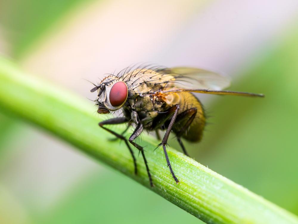 Ученые стерли память мухе-дрозофиле