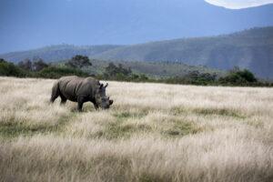 В Африке восстанавливается популяция редких черных носорогов