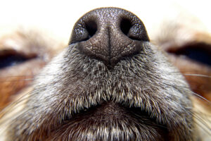 Собака чувствует носом тепловое излучение