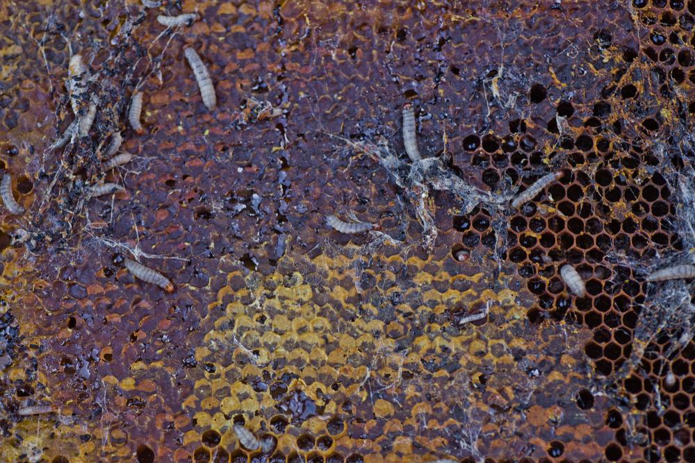 Проблему пластиковых отходов помогут решить гусеницы?.Вокруг Света. Украина