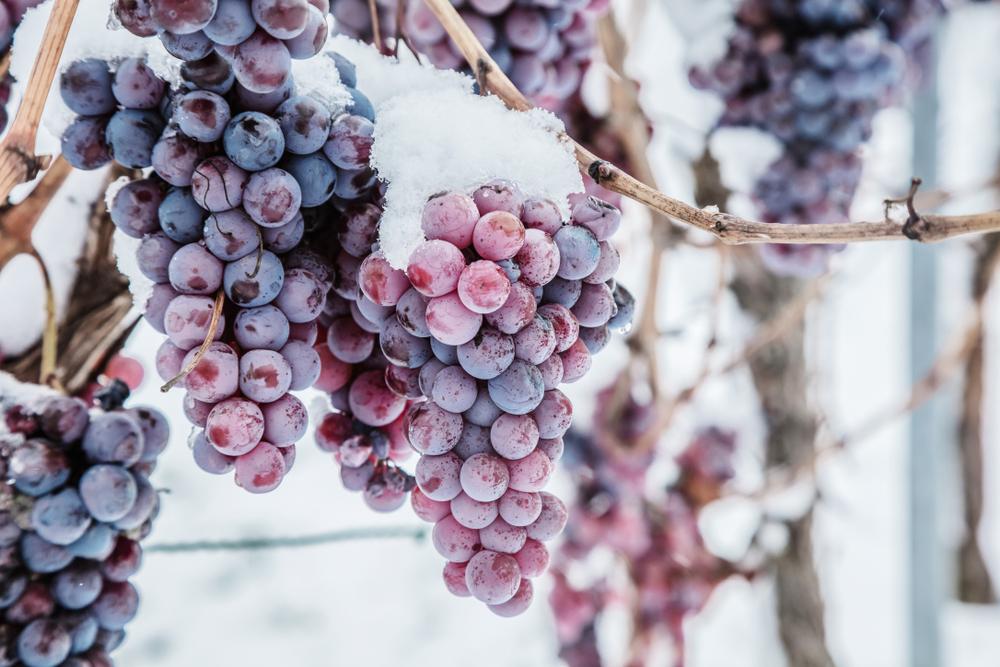 В Германии теплая зима погубила урожай винограда для ледяного вина.Вокруг Света. Украина