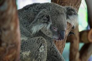 Спасенных от пожаров коал в Австралии начали выпускать на волю