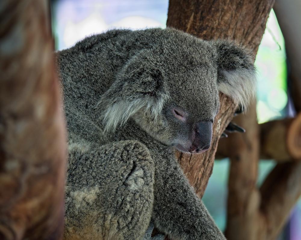 Спасенных от пожаров коал в Австралии начали выпускать на волю.Вокруг Света. Украина
