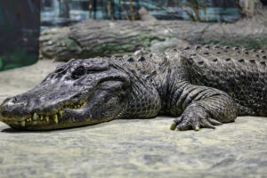 Крокодилы переживут третью волну массового вымирания