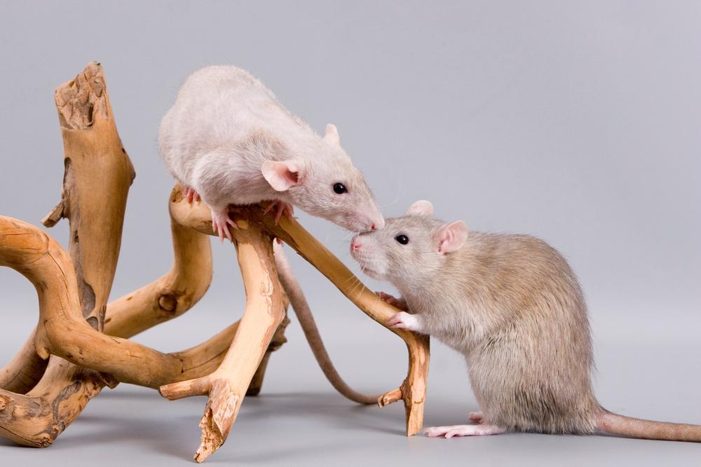 У крыс заметили эмпатию.Вокруг Света. Украина