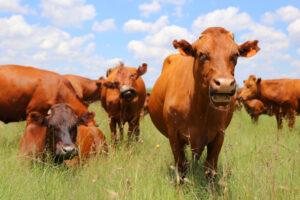 Как коровы и пахотные земли спасают планету от изменения климата