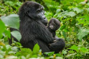 Горные гориллы тоже могут заболеть коронавирусом