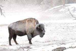 Бизоны и лошади помогут сохранить вечную мерзлоту